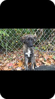 Collie/Australian Shepherd Mix Puppy for adoption in Hainesville, Illinois - Bears