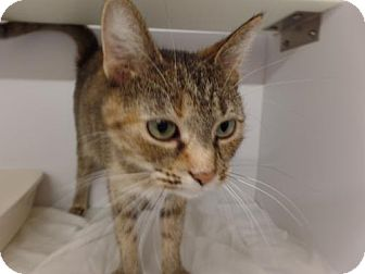 Domestic Shorthair Cat for adoption in Crown Point, Indiana - Bonnie