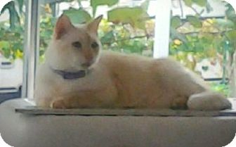 Siamese Cat for adoption in Ft Myers Beach, Florida - S.O.S for a great cat!!!!!