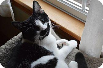 Domestic Shorthair Kitten for adoption in Carlisle, Pennsylvania - Ruby