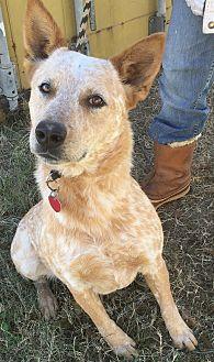 Australian Cattle Dog Dog for adoption in Wichita Falls, Texas - Rojo