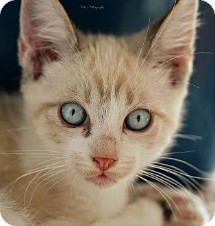 Siamese Cat for adoption in Rocklin, California - Writ