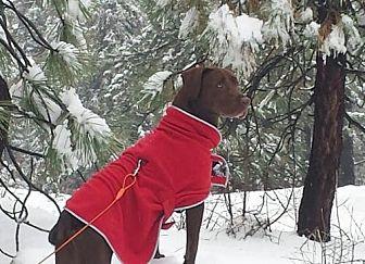 Labrador Retriever Dog for adoption in Rancho Santa Margarita, California - ZZ-Dodger *courtesy post