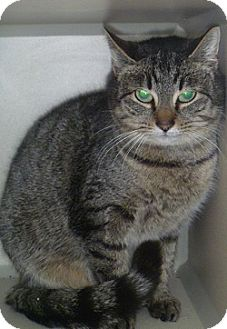 Domestic Shorthair Cat for adoption in Hamburg, New York - Frac