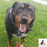 Adopt A Pet :: Chester - Eighty Four, PA