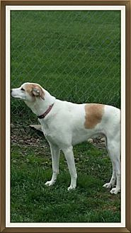 Whippet/Labrador Retriever Mix Dog for adoption in New Richmond,, Wisconsin - Sonny