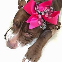 Adopt A Pet :: Gigi - Seattle, WA
