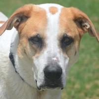 Adopt A Pet :: Benny - Bastrop, TX