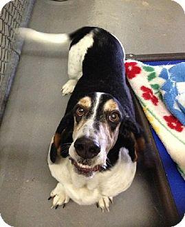 Basset Hound Dog for adoption in Grapevine, Texas - Gertie