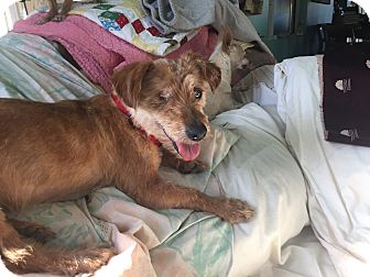 Terrier (Unknown Type, Small) Mix Dog for adoption in Creston, California - Smokey