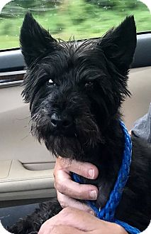 Miniature Schnauzer/Yorkie, Yorkshire Terrier Mix Dog for adoption in Columbus, Ohio - Levi