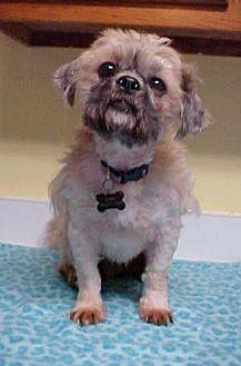 Shih Tzu/Lhasa Apso Mix Dog for adoption in Dahlgren, Virginia - Dillard - 15 lbs