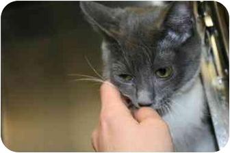 American Shorthair Cat for adoption in Saint Charles, Missouri - Dylan