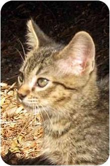 Domestic Shorthair Kitten for adoption in Davis, California - Louis