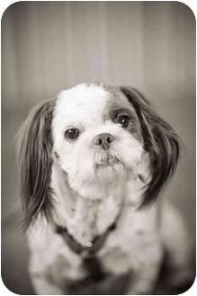 Lhasa Apso Dog for adoption in Portland, Oregon - Jackie