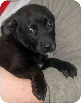 Labrador Retriever Mix Puppy for adoption in Inman, South Carolina - Dabloom