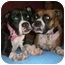 Photo 1 - Boxer Mix Puppy for adoption in Middlesex, New Jersey - Bailey
