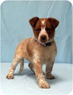 Brittany/Australian Shepherd Mix Puppy for adoption in Westminster, Colorado - CLARICE