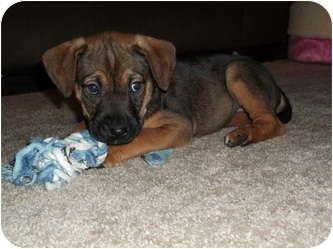 Rottweiler/Shepherd (Unknown Type) Mix Puppy for adoption in Wasilla, Alaska - Rose