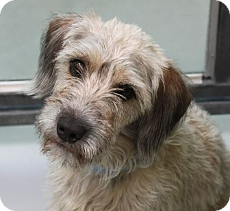 Terrier (Unknown Type, Medium)/Terrier (Unknown Type, Small) Mix Dog for adoption in Las Vegas, Nevada - Murphy