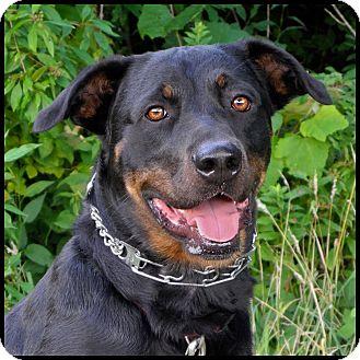 Rottweiler Mix Dog for adoption in Westfield, New York - C.J.