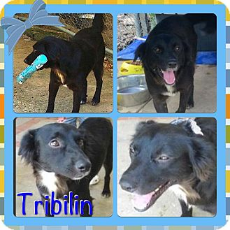 Shepherd (Unknown Type) Mix Dog for adoption in Toa Alta, Puerto Rico - Tribilin