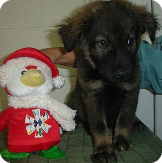 Shepherd (Unknown Type) Mix Puppy for adoption in Old Bridge, New Jersey - Frodi