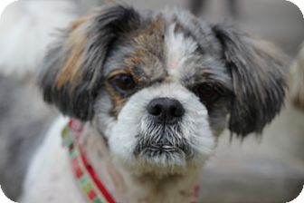 Shih Tzu Dog for adoption in San Pedro, California - Magoo