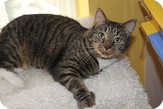 Domestic Shorthair Cat for adoption in Richmond, Virginia - Becca