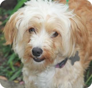 Cockapoo/Cairn Terrier Mix Dog for adoption in Norwalk, Connecticut - Dallas - adoption pending