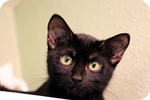 Domestic Shorthair Cat for adoption in Friendswood, Texas - Binx