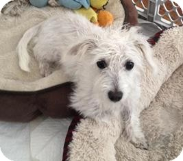 Jack Russell Terrier/Poodle (Miniature) Mix Dog for adoption in Tustin, California - Abigail