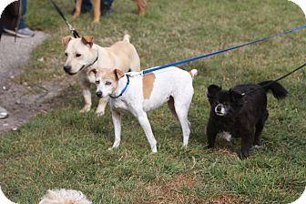 Labrador Retriever/Corgi Mix Dog for adoption in Calgary, Alberta - Amos
