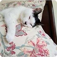 Adopt A Pet :: Lola - Narberth, PA