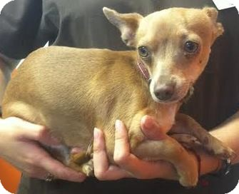 Chihuahua Mix Dog for adoption in Westminster, California - Esmeralda