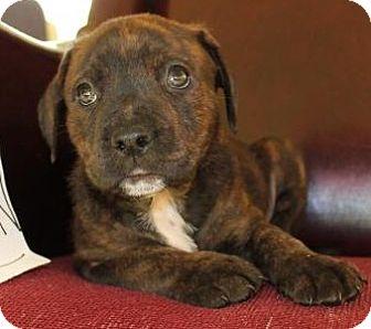 Boxer/Mastiff Mix Puppy for adoption in Toledo, Ohio - Aladdin