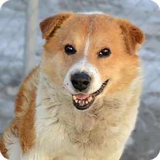 Shepherd (Unknown Type) Mix Dog for adoption in Denver, Colorado - Barney