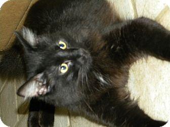 Domestic Mediumhair Cat for adoption in Parkville, Missouri - Big Boy