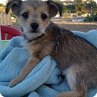 Adopt A Pet :: Calvin - Temecula, CA