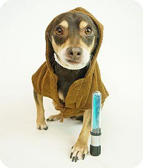 Terrier (Unknown Type, Small)/Miniature Pinscher Mix Dog for adoption in Phoenix, Arizona - Jack