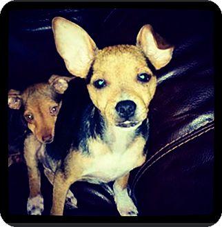 Chihuahua Mix Puppy for adoption in Grand Bay, Alabama - Conrad