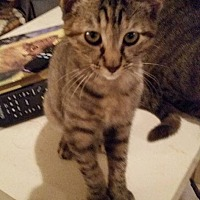 Domestic Shorthair Kitten for adoption in Ocala, Florida - Tabitha