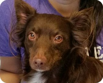 Chihuahua Mix Dog for adoption in San Leon, Texas - Trixie