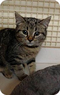 Domestic Shorthair Kitten for adoption in Tampa, Florida - Holden