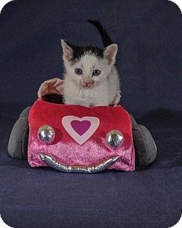 Domestic Shorthair Kitten for adoption in Wayne, New Jersey - Tuna