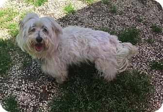 Maltese Mix Dog for adoption in Voorhees, New Jersey - Jack