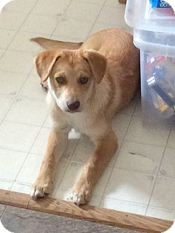 Labrador Retriever Mix Dog for adoption in Saskatoon, Saskatchewan - Crixius