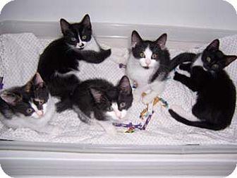 Domestic Shorthair Kitten for adoption in Merrifield, Virginia - Domino