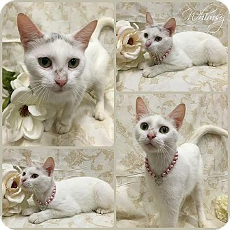 Domestic Shorthair Cat for adoption in Joliet, Illinois - Whimsy