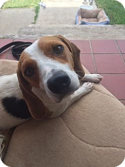 Beagle/Boxer Mix Dog for adoption in Hagerstown, Maryland - Gracie (ETAA)